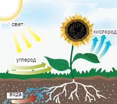 Фотосинтез « Интереcно о науке: http://coolsci.ru/fotosintez/